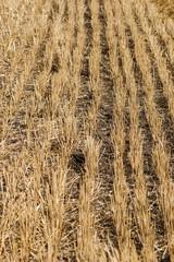 Поле после сбора урожая пшеницы. Крупный план