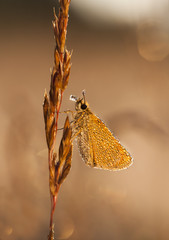 Little wet butterfly on a plant straw