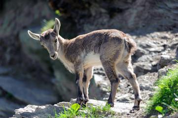 Giovane di stambecco - Capra Ibex