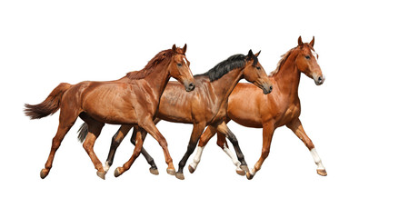 Three free horses happily trotting on white background