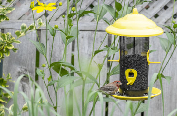 Male House Finch Eating Sunflower Seed at a Bird Feeder