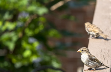 Female Sparrow Sunning Herself