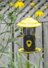 Black-capped Chickadee at the Bird Feeder