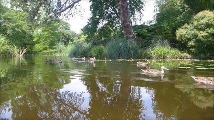 ducks swimming in fresh green pond on bright day