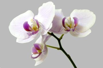 Orchidaceae © fabiopensi