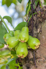 Rose apples or green chomphu on tree in orchard,Thailand