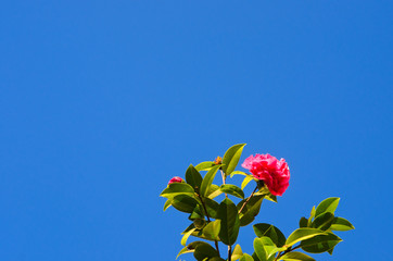 Camellias over blue sky