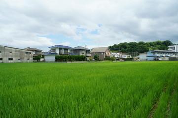 7月の田んぼの風景