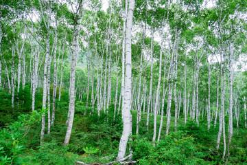 白樺群生林3