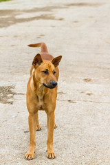 lonely thai brown dog