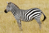 Zebra on the Masai Mara in Southwestern Kenya, Africa. poster