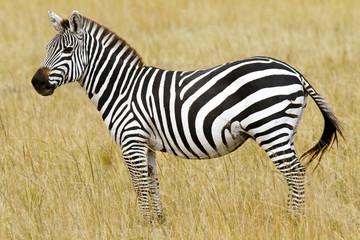 Zebra on the Masai Mara in Southwestern Kenya, Africa.