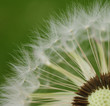 Close up of dandelion seeds on green background