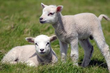 Twin lambs in field near Llangrannog, Cardigan coast
