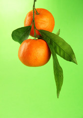 Ripe sweet tangerines with leaves, on green background