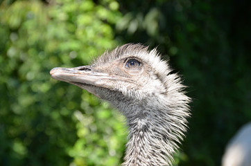 ostrich head detail photo
