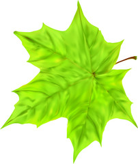 isolated green maple leaf illustration
