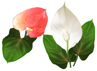 anthurium red and white flowers illustration