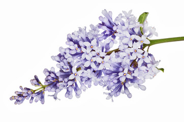 small light blue isolated lilac inflorescence