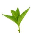 Menthe verte isolée sur fond blanc