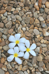 Plumeria flower on the stones