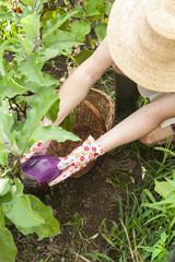 Persona nell'orto che raccoglie una melanzana