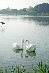 千波湖と白鳥