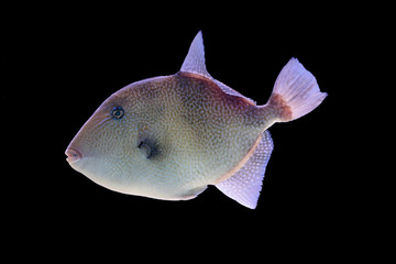 Grey triggerfish on a black background