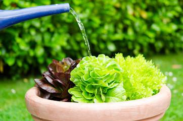 salat im garten gießen