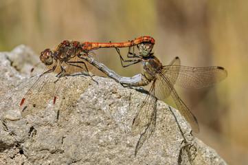 Libellen bei der Paarung