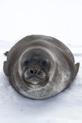 pup southern elephant  seals looking forward lying on ice