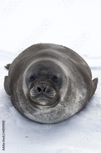 Fotobehang Antarctica pup southern elephant seals looking forward lying on ice