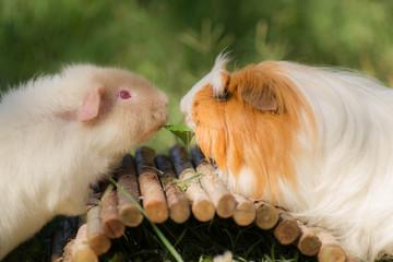 deux cochons d'inde dans un jardin