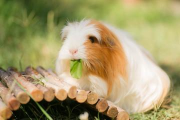 cobaye mangeant une feuille de pissenlits