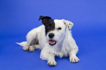 Schwarzweißer Hund vor blauem Hintergrund