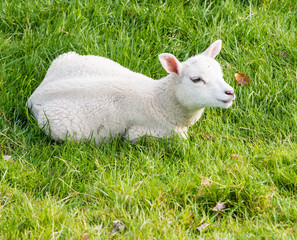 Lamb lies in the grass