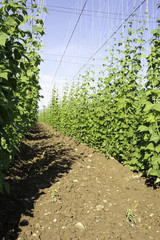 Side view of Hop crop