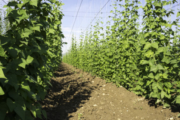 Side view of Hop crop on a sunny morning