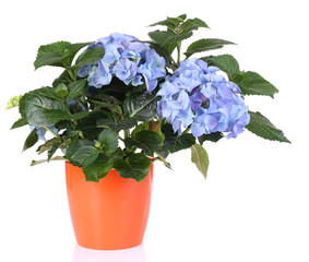 Bouquet of hydrangea in flowerpot isolated on white