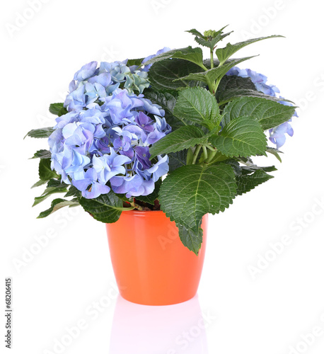 Foto op Canvas Hydrangea Bouquet of hydrangea in flowerpot isolated on white