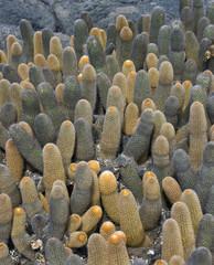 Lava Cactus (Brachycereus nesioticcus) - Galapagos Islands