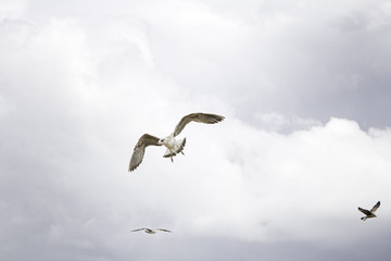 Seagull with sky