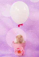 cobaye et ballon gonflé à l'hélium