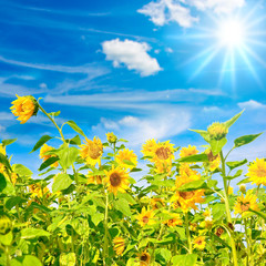 Sommer, Sonne, Sonnenblumen....