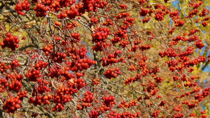 Autumn hawthorn branch