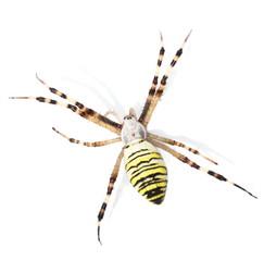 European Black and Yellow Garden Spider isolated on white