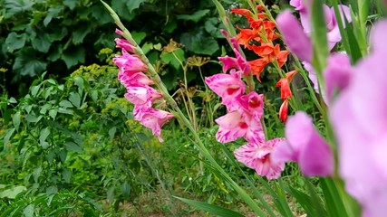 Colored gladiolus in the garden
