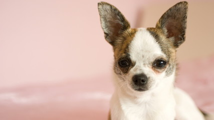 dog looking, young chihuahua