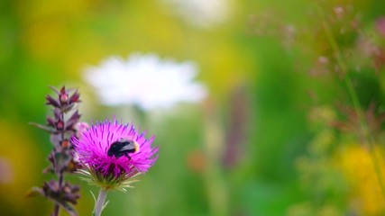 Bumblebee collecting nectar from wild flowers in a meadow