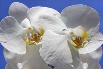 beautiful white orchid with unusual core